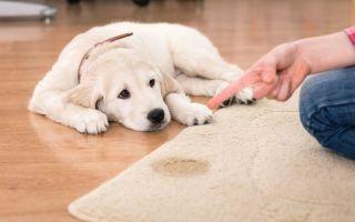 Как избавиться от запаха собачьей мочи без химии