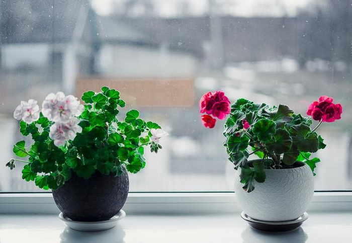 Как поливать рассаду перекисью водорода, правила полива, полезные свойства перекиси водорода для растений