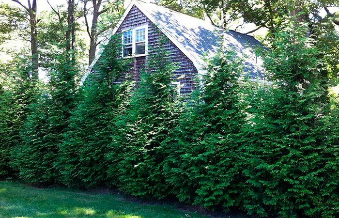 Ель во дворе дома приметы и суеверия: почему нельзя сажать елку возле дома