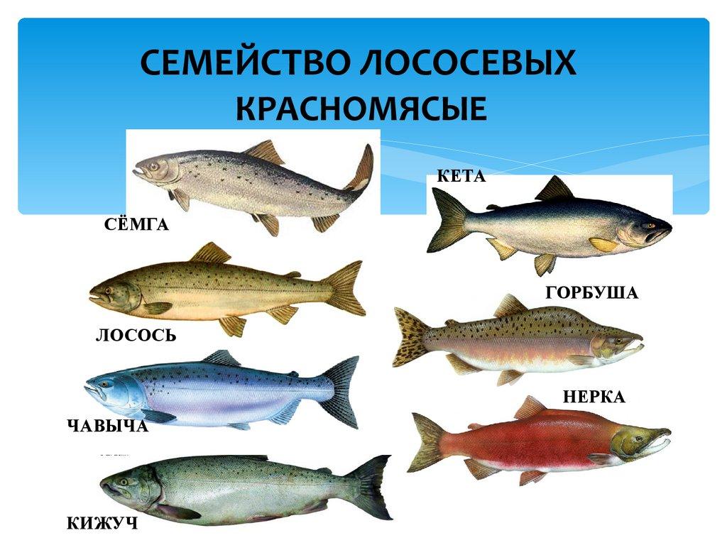 Засол красной рыбы в домашних